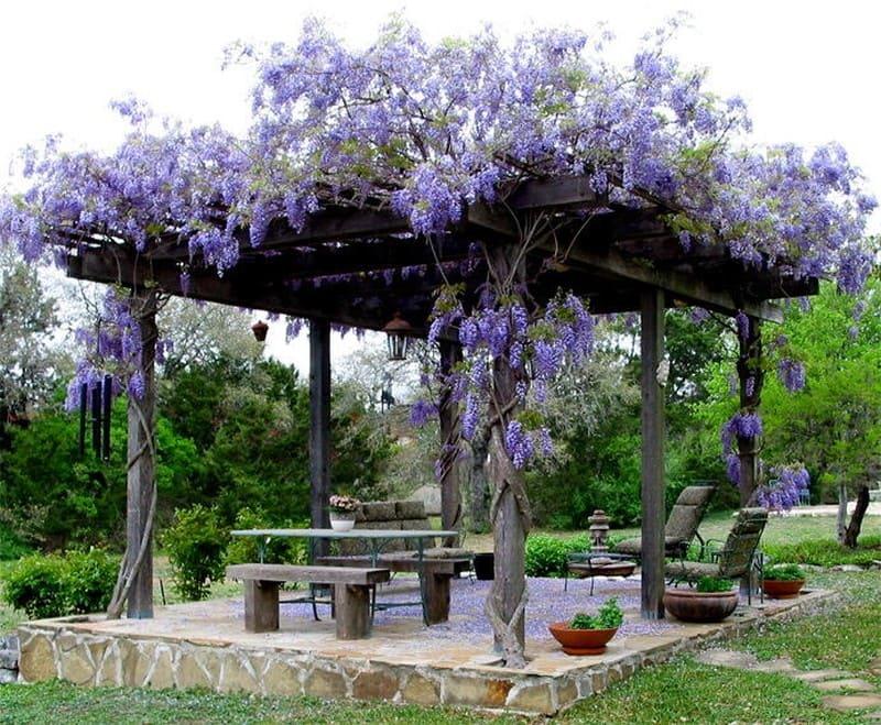 Живая беседка на участке фиолетовые цветы